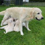 14 Golden Retriever From the Golden Globe Kennel puppy Meerkerk