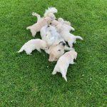 15 Golden Retriever From the Golden Globe Kennel puppy Meerkerk
