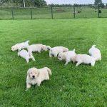 16 Golden Retriever From the Golden Globe Kennel puppy Meerkerk