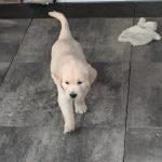 19 Golden Retriever From the Golden Globe Kennel puppy Meerkerk