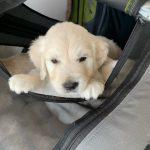 20 Golden Retriever From the Golden Globe Kennel puppy Meerkerk