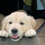 21 Golden Retriever From the Golden Globe Kennel puppy Meerkerk