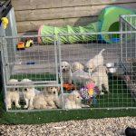 22 Golden Retriever From the Golden Globe Kennel puppy Meerkerk