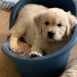 23 Golden Retriever From the Golden Globe Kennel puppy Meerkerk