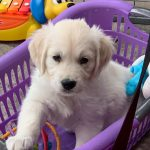 24 Golden Retriever From the Golden Globe Kennel puppy Meerkerk
