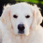 29-Golden-Retriever-From-the-Golden-Globe-Kennel-puppy-Meerkerk-1-scaled.jpg