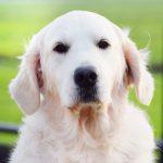 30-Golden-Retriever-From-the-Golden-Globe-Kennel-puppy-Meerkerk-1-scaled.jpg