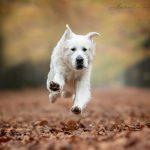 33Frenkie-Golden-Retriever-From-the-Golden-Globe-Kennel-puppy-Meerkerk.jpg