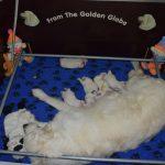 Jola x Noah from the golden globe golden retriever 74