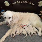 jola en Jadore - From The Golden Globe Golden Retrievers 26