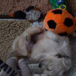 ladie x barreigh from the golden globe golden retriever 06