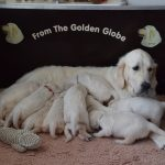 ladie x barreigh from the golden globe golden retriever 09